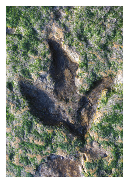 Dinosaur footprint, Staffin Bay, Skye